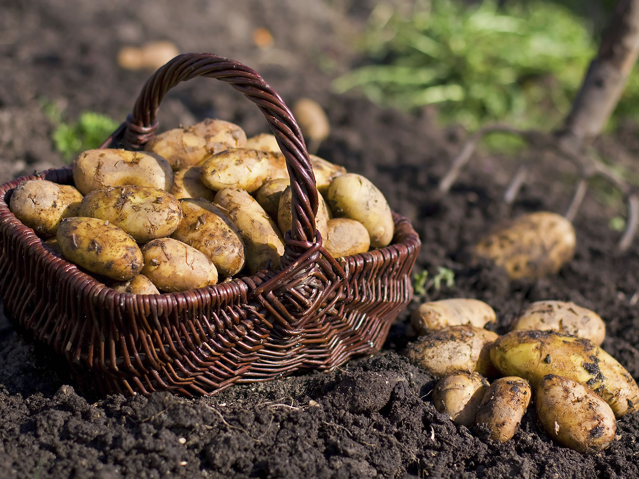Top 5 Potato Producing Countries in the World